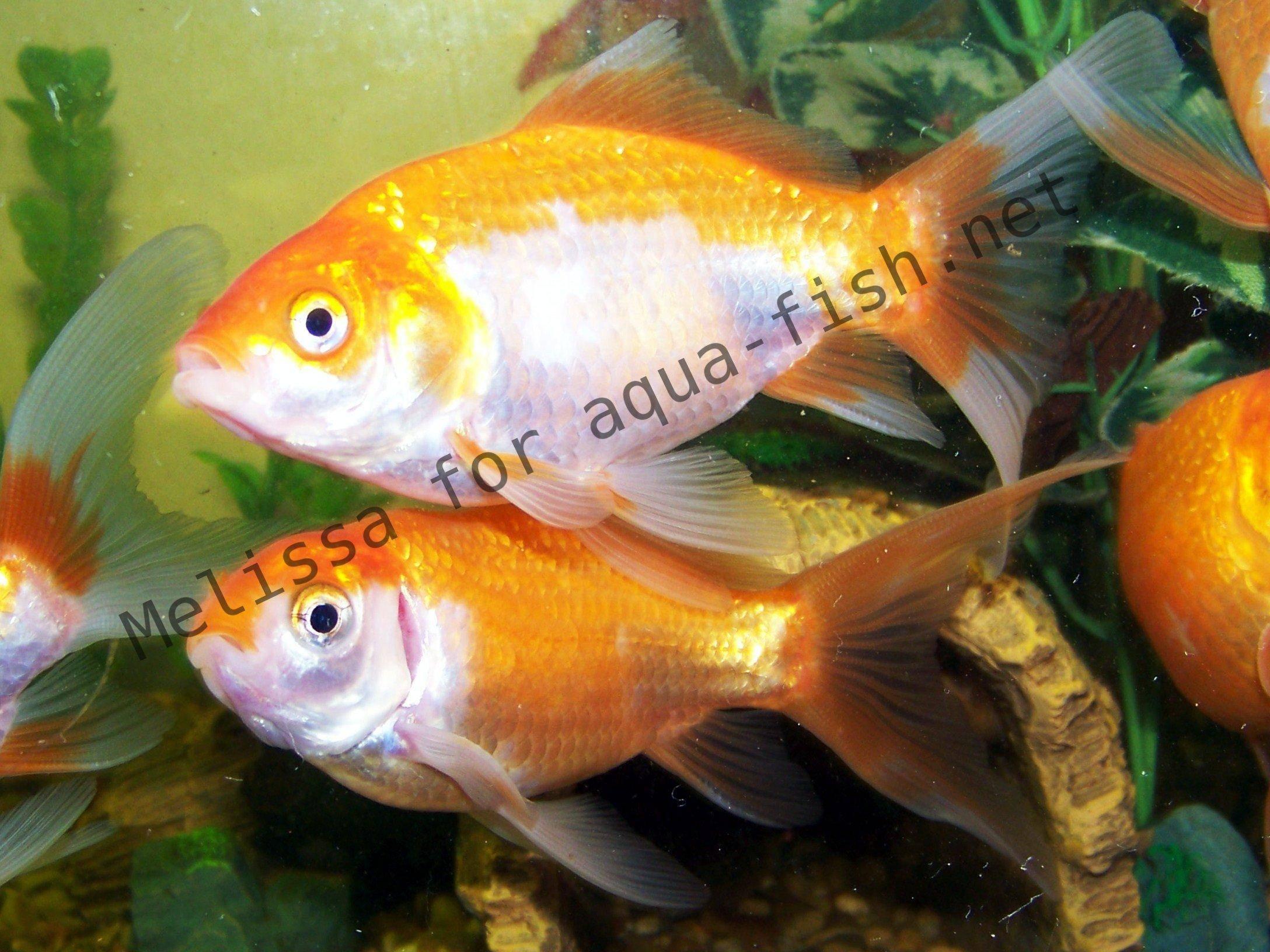 Avant d acheter un poisson rouge for Acheter des poissons