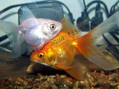 Avant d acheter un poisson rouge for Acheter poisson rouge laval