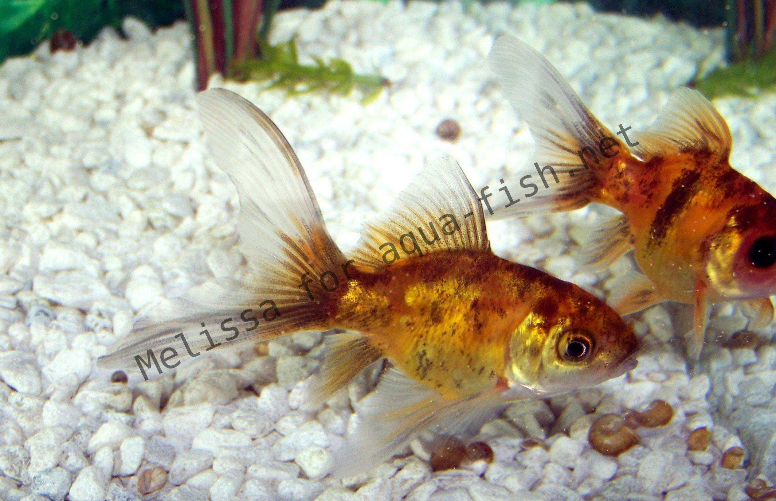 Avant d acheter un poisson rouge for Acheter poisson rouge liege