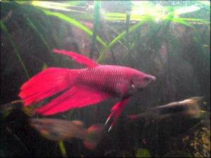 Poisson Betta, 1