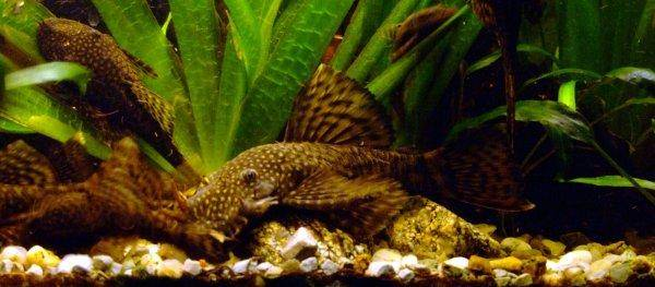 Poisson-Chat De Bristlenose, photo 11
