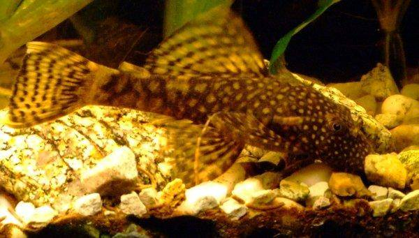 Poisson-Chat De Bristlenose, photo 7