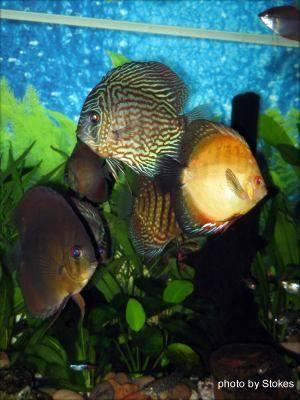 le poisson d aquarium discus