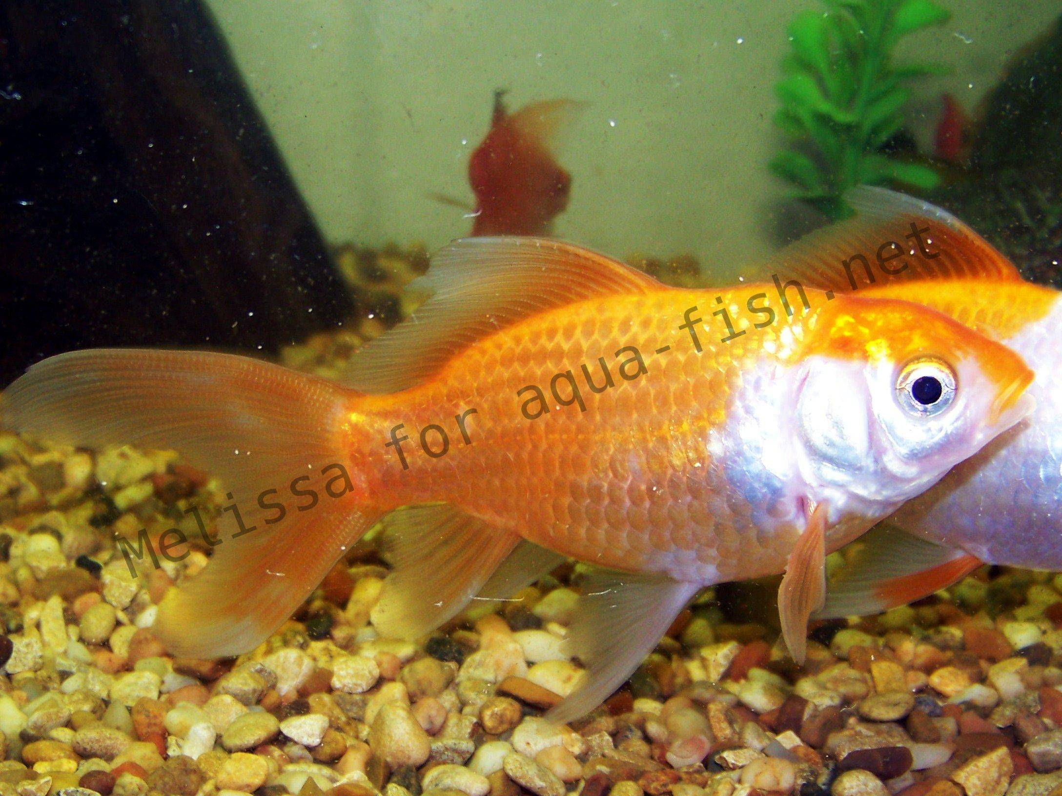 Aquarium de poissons rouges for Acheter poisson rouge laval