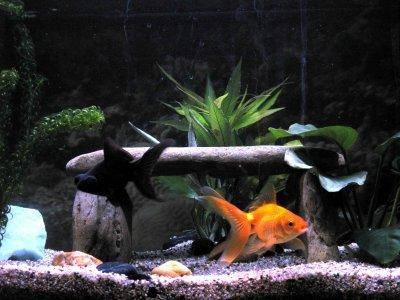 Le poisson rouge for Nourrir des poissons rouges
