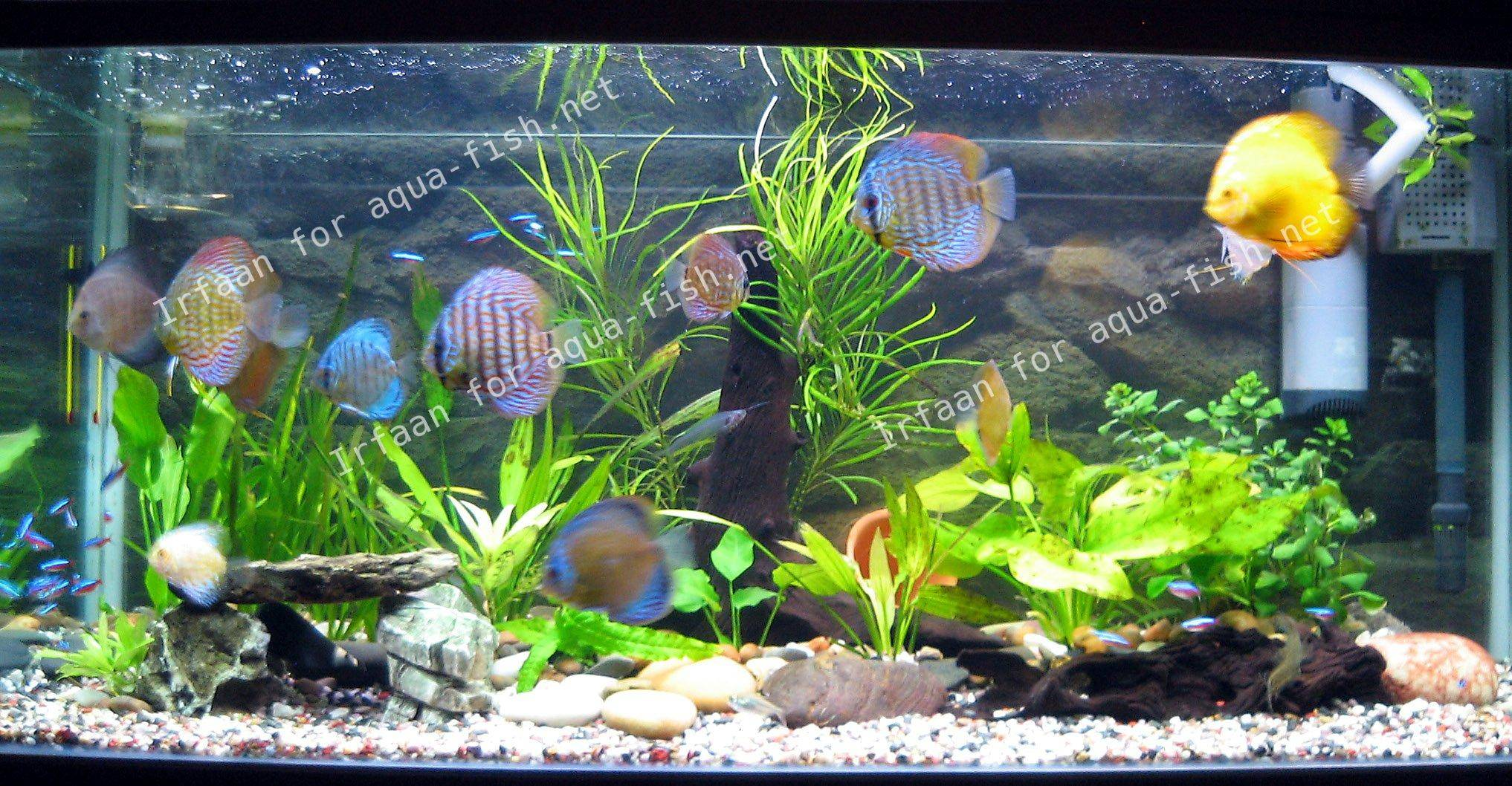 Pin discus fish tank on pinterest for Diskus aquarium