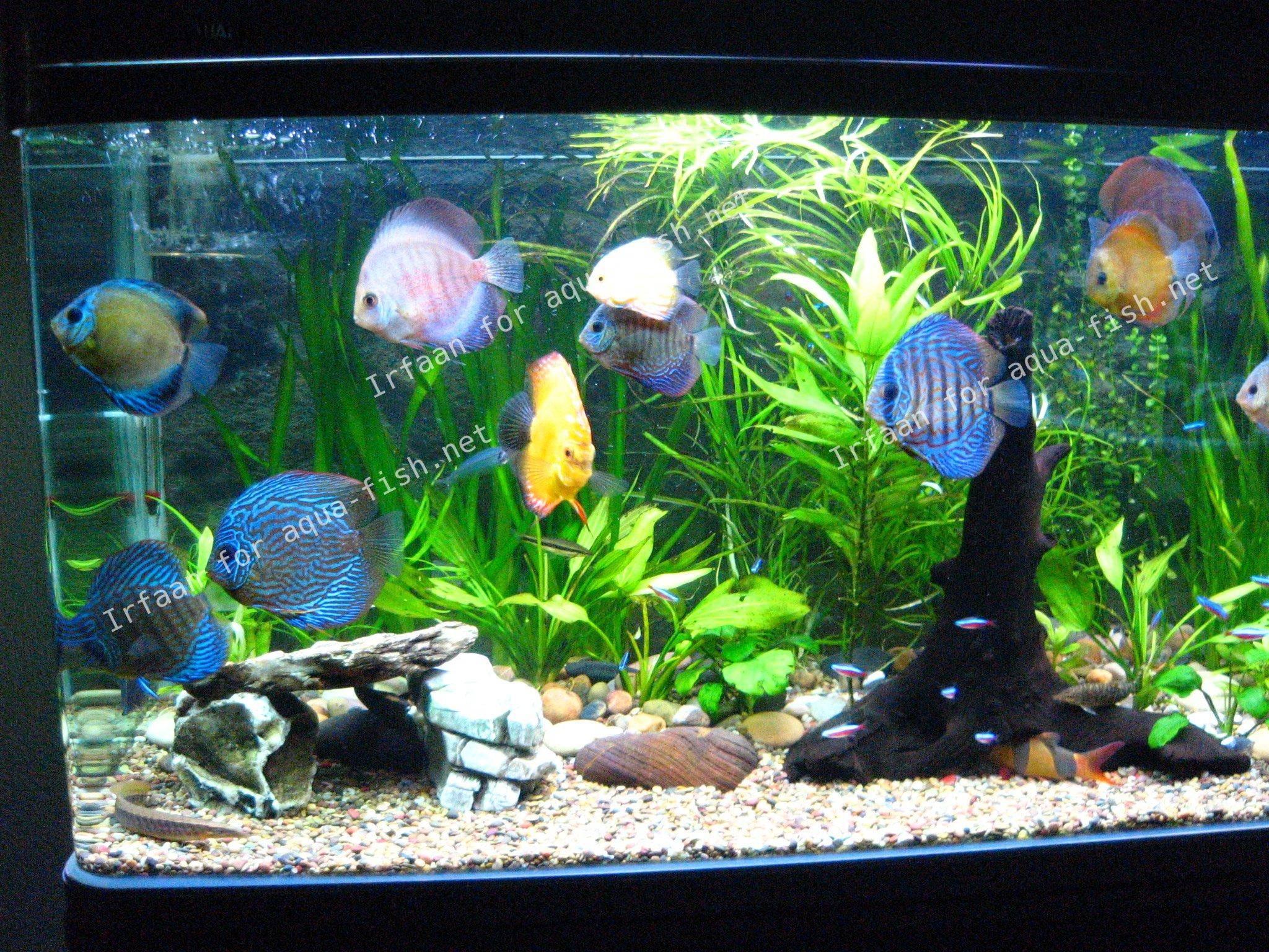 décor aquarium discus