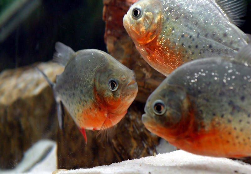 Les poissons Piranha