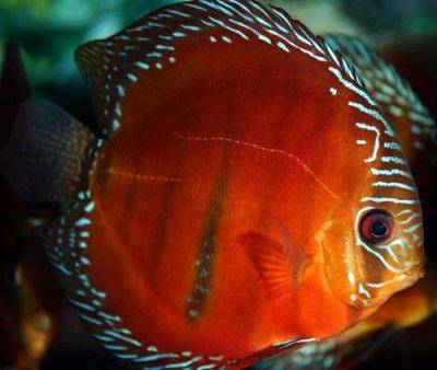 Le discus de heckel symphysodon discus for Pesce discus