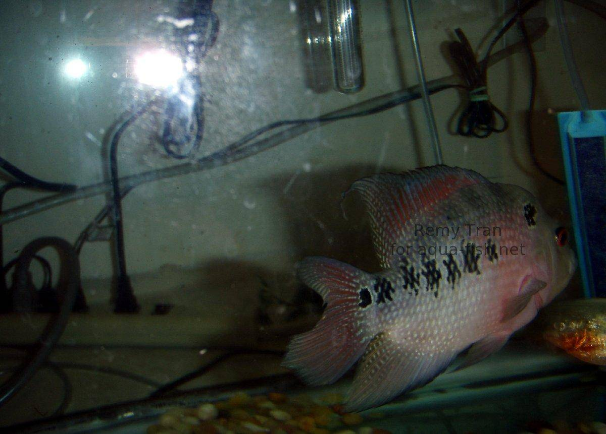 Les poissons flowerhorn for Poisson rouge artificiel