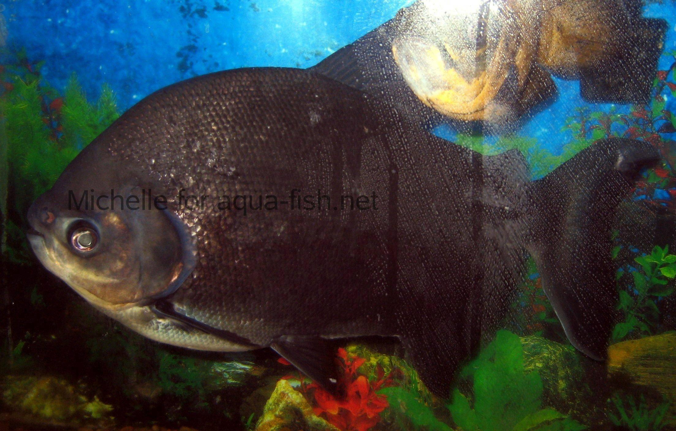 Les poissons pacu for Poisson rouge aquarium 10l